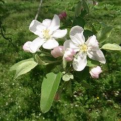 リンゴ (りんご)